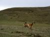 Onderweg een enkele Lama