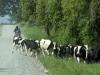 18 boer te paard met zijn vee