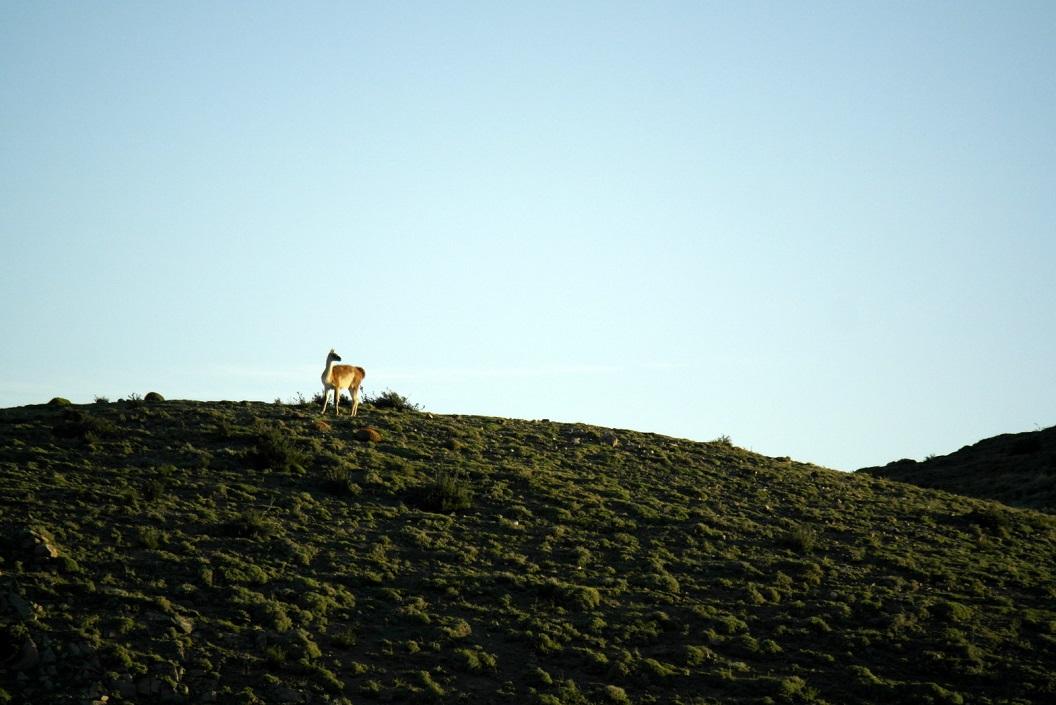 12 Guanaco, Lama Guanicoe als tekening aan de horizon