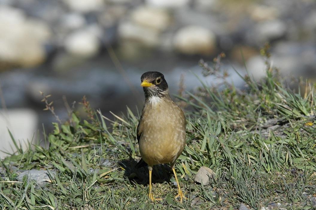 28 nieuwsgierig vogeltje, Zozal Patagónica, kijkt toe