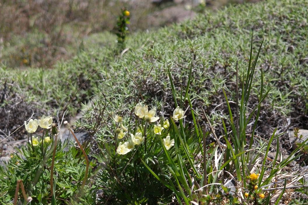 31 berg-anemoontjes (denken we)