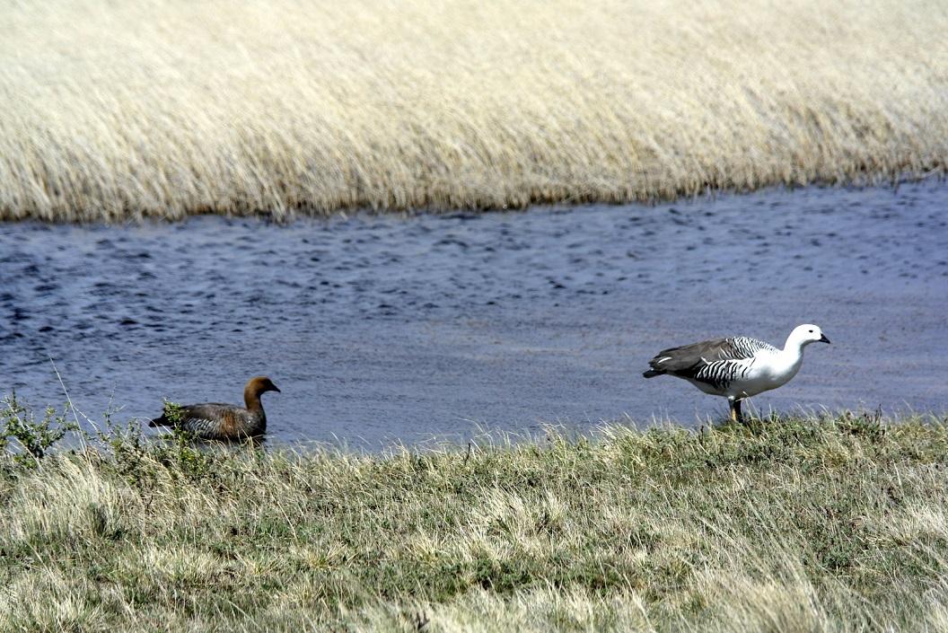39 mannetje en vrouwtje Cauquén Comin, voor hun leven samen, koppeltje zoals we onderweg regelmatig tegenkomen