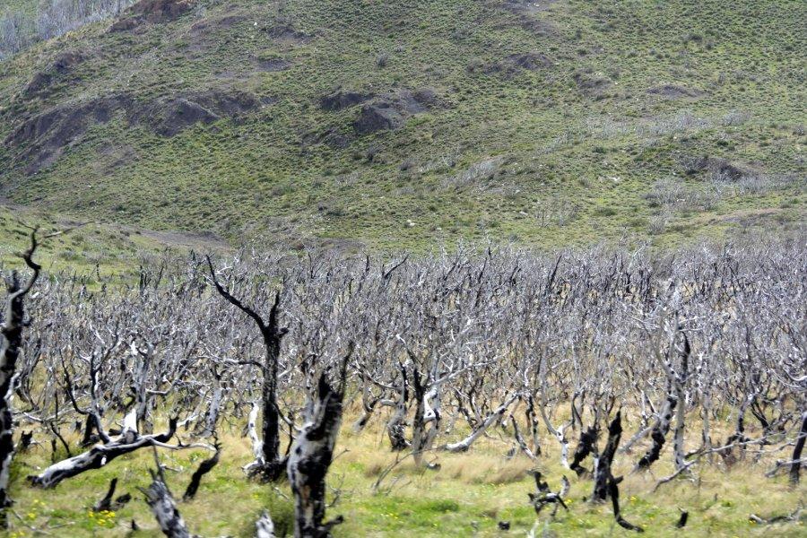 42 onderweg ook dorre beelden, grote gebieden in de dalen van het Parque Torres Del paine en daarbuiten zijn door bevers aangetast, vertelde men
