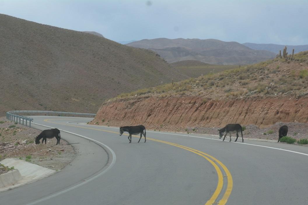 45 af en toe kruist een groepje ezels of koeien ons pad