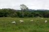 05 een groene omgeving met af en toe enkele koeien, op weg naar San José, Route 2 SAM_4647