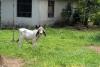 25 bijzondere koeien en kalveren SAM_5198