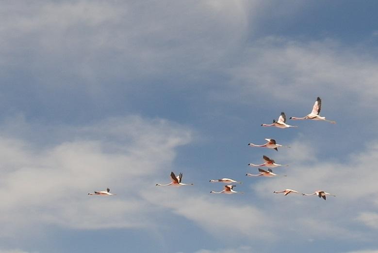 19 Flamingo's overvliegend in de Salar de Atacama, Reserva Nacional Los Flamencos