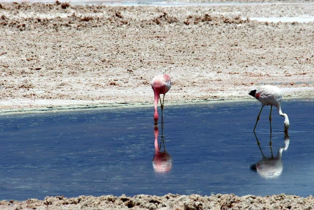 21 de Andes Flamingo en Chileense Flamingo doen zich tegoed aan de voorraden krill en micro-organismen in de lagunas