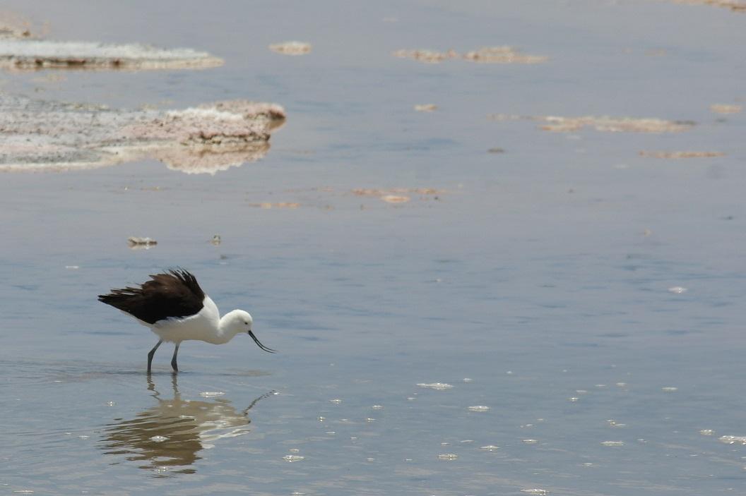 24 De Salar de Atacama zorgt met zijn voorraden krill en micro-organismen in de lagunes voor het overleven van talloze Altiplanovogels