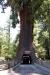 17 ongelooflijk grote Chandelierbomen van duizenden jaren oud SAM_8131