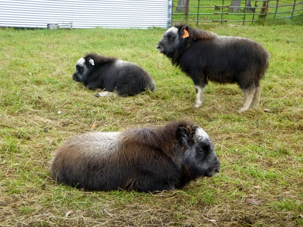 11 kalveren van de Musk Ox in de weilanden rondom de Musk Ox Farm in Palmer P1030331