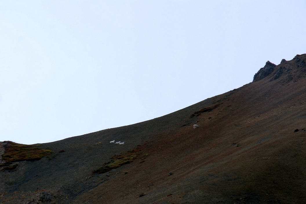 12 Dall Sheep op de hellingen Savage Rock - Denali National Park SAM_1158