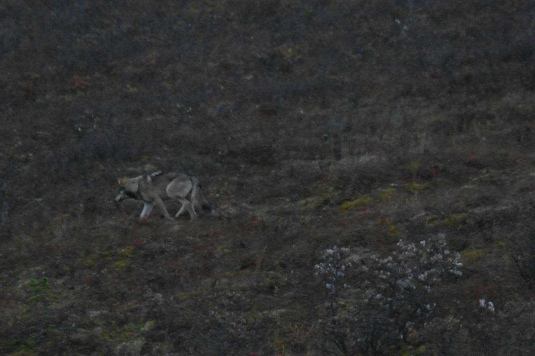18 Wolf in Denali National Park SAM_1244