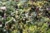 16 de meest uiteenlopende mosjes als onderbegroeiing op deze wandelroute SAM_0466
