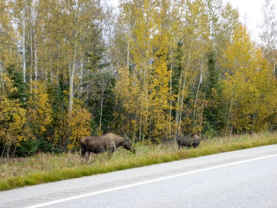 12 Moose ... aan de Alaska Highway, richting Fairbanks P1020983