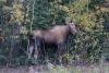 13 Moose ... aan de Alaska Highway, richting Fairbanks SAM_0976