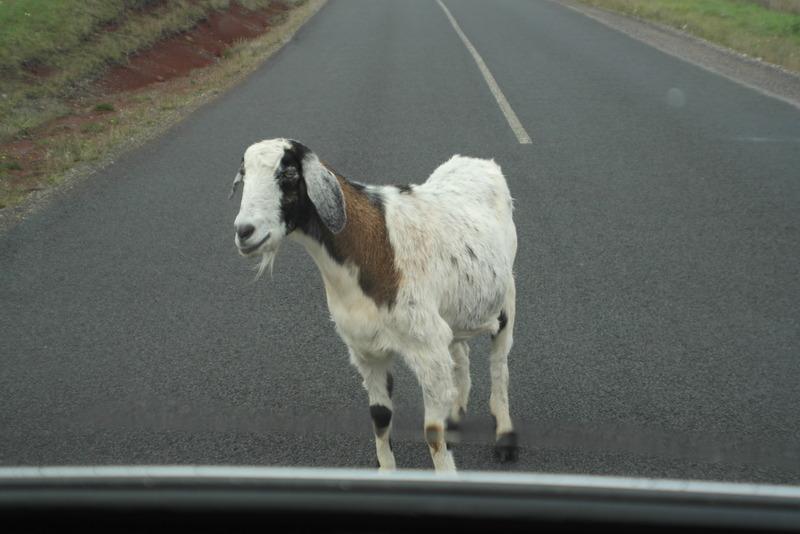 06-even-stoppen-voor-deze-nieuwsgierige-tasmaanse-passant