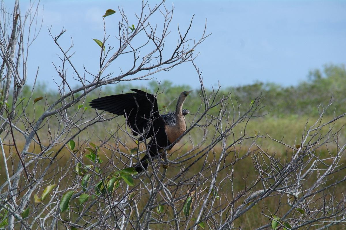 09 Anhinga, watervogel die haar vleugels droogt door deze uitgebreid te spreiden