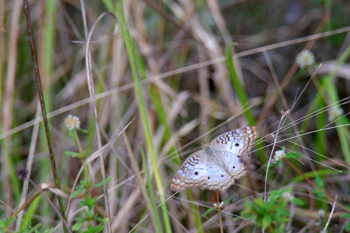 48 vlinders volop in de Everglades en Big Cypress