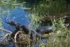 11 American alligators – uren lang in zelfde houding genietend van de zon