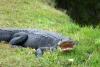24 alligator