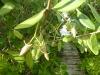 3 bijzonder eikels aan een brede haag langs de vaarwegen,de binnenwaterwegen van Key Largo