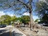 15 monumentale boom met enorm wortelstelsel, in een middenberm parkje met meerdere van deze