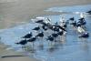 18 zeemeeuwen zoeken elkaar op langs het strand