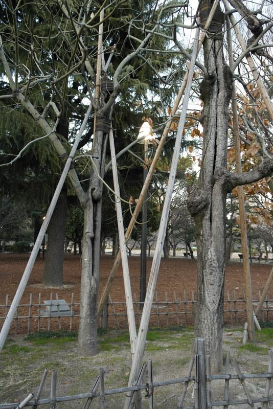 11-phoenix-trees-aangetast-door-de-atoombom-en-weer-hersteld