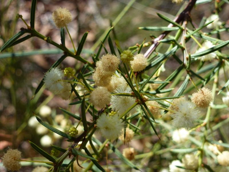 205-mealy-wattle-prachtige-begroeiing