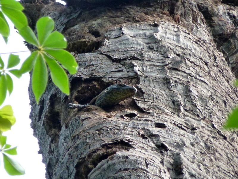 13-een-baby-komodo-dragon-kruipt-uit-haar-ei-naar-een-holte-van-een-boom-en-leeft-daar-ca-1-jaar