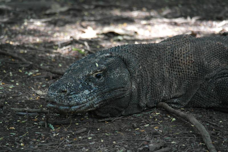 14-na-8-tot-10-jaar-is-de-komodo-dragon-volwassen