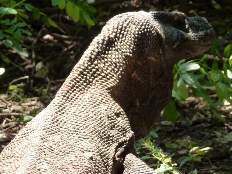 22-de-komodo-dragons-lopen-vrij-rond-in-de-natuur