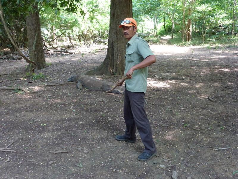 23-zo-nodig-maakt-men-gebruik-van-een-eenvoudige-lange-t-stok-om-de-komodo-dragon-op-afstand-te-houden