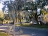 3 bomen weelderig behangen – begroeid – met Frans Mos